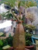 Tp. Hồ Chí Minh: Bán cây Cau Kiểng Cau Sâm Banh rất đẹp 11 triệu CL1089736