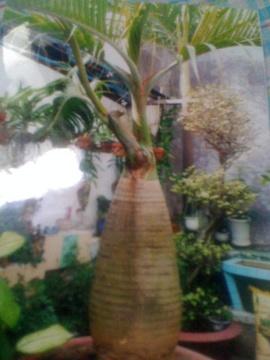 Bán cây Cau Kiểng Cau Sâm Banh rất đẹp 11 triệu