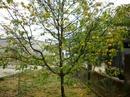 Tp. Đà Nẵng: Bán gốc Mai vàng 20 tuổi cao hơn 4m trồng ngoài đất. (xem hình đính kèm) CL1089736