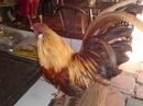 Tp. Hồ Chí Minh: Cần bán gà tân châu râu chân lùn màu khét siêu rẻ CL1203541P5