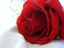 Tp. Hồ Chí Minh: Hoa hồng tươi cho ngày valentine 14-2, giá tốt nhất , giao tận nơi CL1091179