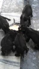 Tp. Hà Nội: Tình hình là chú phú quốc nhà mình được 5 bé có 2 bé đực và 3 bé cái. Đây là ảnh CL1089877