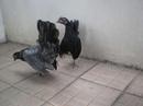 Tp. Hồ Chí Minh: Không có thời gian nuôi cần bán cặp gà Thái, 1con Ô+1con Xám+chuồn CL1203541P5