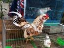 Tp. Hồ Chí Minh: Bán gà Tân Châu tơ đẹp - Bình Thạnh CL1203541P5