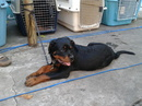 Tp. Hồ Chí Minh: bán chó rottweiler cái 4 tháng để đuôi , chó cái . cha mẹ nhập CL1063613P10