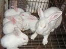 Tp. Hải Phòng: Bán thỏ giống và thỏ thịt :Newzealand-California-thỏ ré CL1203541P5