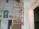 Tp. Đà Nẵng: Có cặp chim chào mào Trung Mang, mua thay lồng, ai có nhu cầu xin liên hệ CAT236_238_244P10