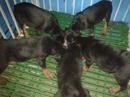 Tp. Hồ Chí Minh: bán bầy chó rottweiler 2 tháng CL1063613P10