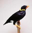 Tp. Hồ Chí Minh: mua 1 chú chim yểng(nhồng)hoặc (vet+xíc) CL1409010P4