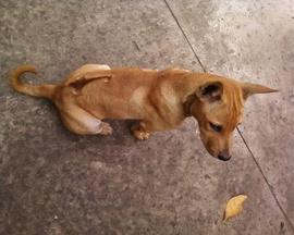 Chó Phú Quốc cái, vàng lửa, 3,5 tháng, 8kg, khôn lanh, chích ngừa đủ.
