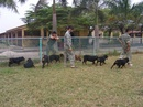 Tp. Hà Nội: Huấn luyện chó nghiệp vụ CL1109553