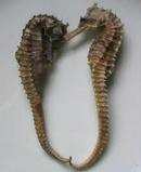 Tp. Hồ Chí Minh: Cá ngựa (hải mã) ngâm rượu, chuyên trị yếu sinh lý, mệt mỏi, suy nhược. .. CL1102659