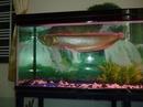 Tp. Hồ Chí Minh: Bán hồ và cá rồng loại ngân long 60cm CL1218505