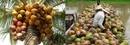 Tp. Hồ Chí Minh: Bán nước màu dừa Bến Tre nguyên chất 100% CL1003834