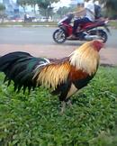 Tp. Hồ Chí Minh: Gà nồi lông con, ô mặt lọ, gà nồi lai mỹ, gà vàng chân xanh. ..giá từ 100k-300k từ CL1110376