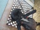 Tp. Hồ Chí Minh: Bán 1 em PUG đen đực 2 tháng tuổi. chó thuần chủng dáng chuẩn, cha mẹ là chó nhà CL1109553