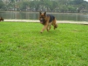 Tp. Hà Nội: Bán chó becgie Đức đực giống thuần chủng, 14 tháng tuổi, cân nặng 47Kg, CL1109553