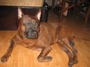 Tp. Đà Nẵng: Chó xoáy Thái màu hung đỏ, 1 tuổi rưỡi. CL1109553