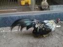 Tp. Hồ Chí Minh: Cần bán gà tân châu kiểng giá rẻ ,gà trống tơ chân vuông ,đuôi tôm dài CL1110376