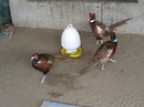 Tiền Giang: Tiền Giang, Bán chim trĩ, công trắng - xanh, gà đông tảo giống CL1216756