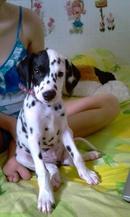Tp. Hồ Chí Minh: Bán chó đốm con 3 tháng tuổi. đẹp lạ, hiếu động. đã chích ngừa. 3tr. CL1109553