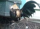 Tp. Hồ Chí Minh: Cần Bán gà trống tân châu đẹp giá rẻ mặt râu chân vuông rãnh giá 600k CL1110376