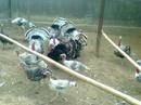 Tp. Hồ Chí Minh: Hcm. bán gà tây, gà lôi giống, lớn nhỏ đều có CL1110376