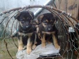Bán đàn chó Béc giê đức giống nhà đẻ 4 con 2th, bố mẹ nhập ngoại thuần chủng