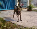 Tp. Hồ Chí Minh: Chó Phú Quốc vện đực, 8 tháng, biết vận động trên máy tập chạy, đang học ngồi CL1112995