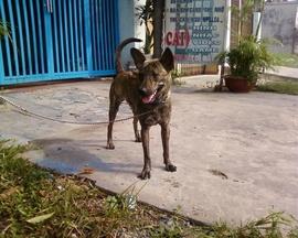 Chó Phú Quốc vện đực, 8 tháng, biết vận động trên máy tập chạy, đang học ngồi