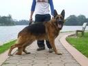 Tp. Hà Nội: Bán chó becgie ( gsd ) rất đẹp, hiện đang làm chó giống CL1111179