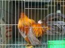 Tp. Hồ Chí Minh: Cần Bán gà trống tân châu mùa đẹp giá tốt mặt râu và kg râu 7 tháng CL1110376