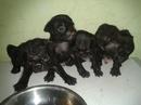 Tp. Hồ Chí Minh: Bán chó pug đen thuần chủng 2 tháng CL1112995