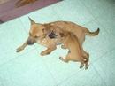 Tp. Đà Nẵng: Bán chó Phú Quốc con, 2 tháng tuổi, màu lông vàng, vện đen mun CL1018377