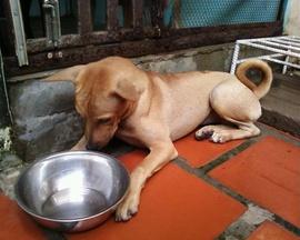 Chó Phú Quốc cái, vàng lửa, 4 tháng, nhanh nhẹn, khỏe mạnh, có cái xoáy dễ thương