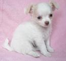 An Giang: Chihuahua có sẵn miễn phí con chó. CL1018377