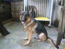 Tp. Hà Nội: Hà Nội Bán một số chó Becgie ( GSD ) ngoại hình đẹp, thần kinh, sức khỏe tốt, gi CL1164609