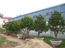 Tp. Đà Nẵng: Cần bán 07 cây mai lớn CL1075716