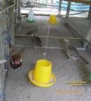 Tiền Giang: Bán chim trĩ đỏ tại Tiền giang, Long an, Bến tre, Đồng tháp, Vĩnh long. .. CL1389056