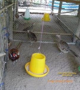 Bán chim trĩ đỏ tại Tiền giang, Long an, Bến tre, Đồng tháp, Vĩnh long. ..