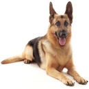 Tp. Hà Nội: Nhận huấn luyện cún yêu của gia đình. Cung cấp chó giống theo yêu cầu. CL1186551