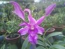 Tp. Hồ Chí Minh: bán hoa lan giống CL1179189