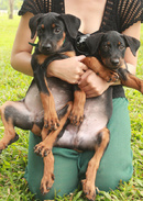Tp. Hồ Chí Minh: Cần bán 1 cặp Rottweiler CL1186551