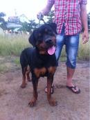 Tp. Hồ Chí Minh: bán chó rottweiler thuần chủng 10 tháng 40kg CL1186551