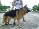 Tp. Hà Nội: Hà nội bán 2 chó cái becgie GSD đức nặng 35kg, salo và đã cho đóng đực CL1186551