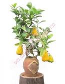 Tp. Hà Nội: Cung cấp cây Phật Thủ giá cạnh tranh CL1161107