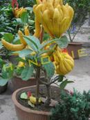 Tp. Hải Phòng: Cây Phật Thủ tết năm 2013 CL1161107