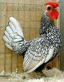 Tp. Hồ Chí Minh: Bán gà vảy cá trống đẹp CL1203541