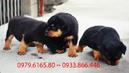 Đồng Nai: Bán cho Rottwiler 2 tháng tuổi nặng 6kg chân tay to khỏe CL1186699