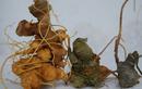 Tp. Hồ Chí Minh: Sâm Ngọc Linh-sản phẩm Rất quý hiếm-tốt cho sức khỏe, giá ổn CL1202014P3